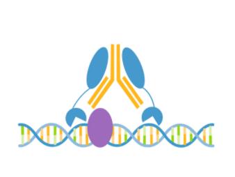 SNF2L/SMARCA1 CUTANA™ CUT&RUN Antibody